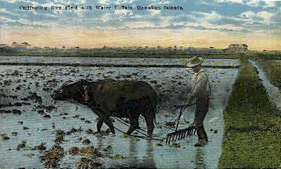 Cultivating Rice Field - Hawaiian Islands Postcards, Hawaii HI Postcard