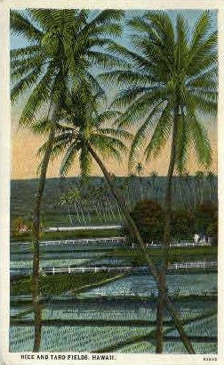 Rice & Taro Fields - Hawaii Postcards, Hawaii HI Postcard