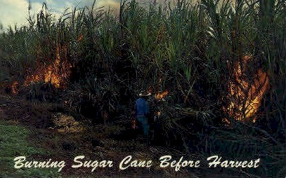 Burning Sugar Cane before Harvest - Maui, Hawaii HI Postcard