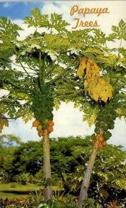 Papaya Trees - Hawaii Postcards, Hawaii HI Postcard