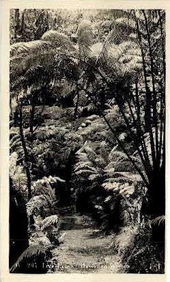 Tree Ferns Real Photo - Hawaiian Islands Postcards, Hawaii HI Postcard