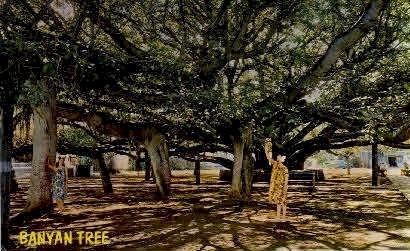 Banyan Tree - Lahaina, Hawaii HI Postcard