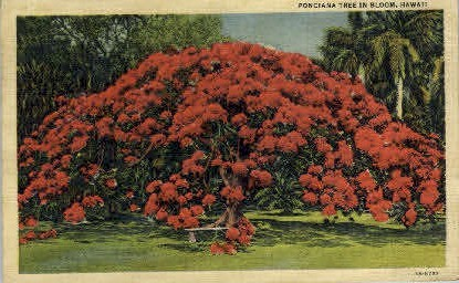Poinciana Tree - Hawaii Postcards, Hawaii HI Postcard