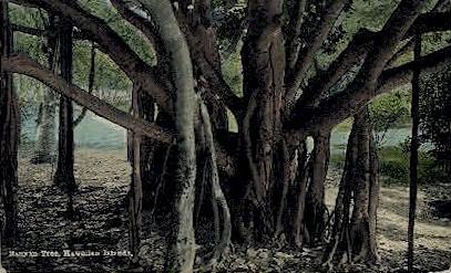 Banyan Tree - Hawaiian Islands Postcards, Hawaii HI Postcard