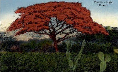 Poinciana Regia - Hawaii Postcards, Hawaii HI Postcard