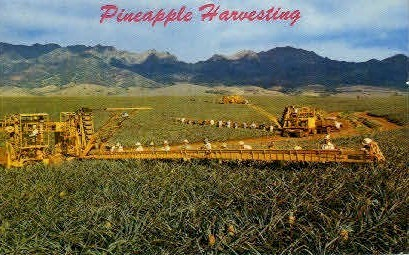 Pineapple Harvesting - Hawaii Postcards, Hawaii HI Postcard