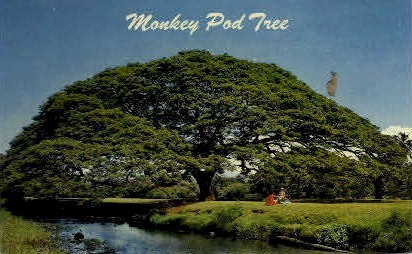 Monkey Pod Tree - Hawaii Postcards, Hawaii HI Postcard