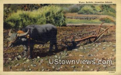 Water Buffalo - Hawaiian Islands Postcards, Hawaii HI Postcard