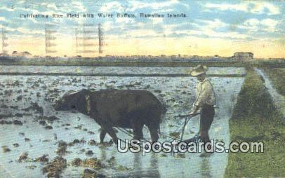 Cultivating Rice Field, Water Buffalo - Hawaiian Islands Postcards, Hawaii HI Postcard