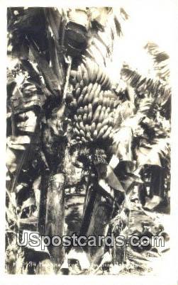Real Photo - Banana Tree - Hawaiian Islands Postcards, Hawaii HI Postcard