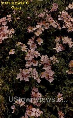 Wild Rose - Misc, Iowa IA Postcard