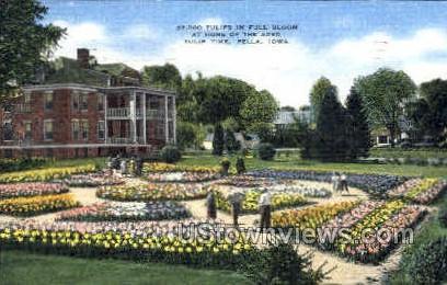 Tulips in Full Bloom - Pella, Iowa IA Postcard