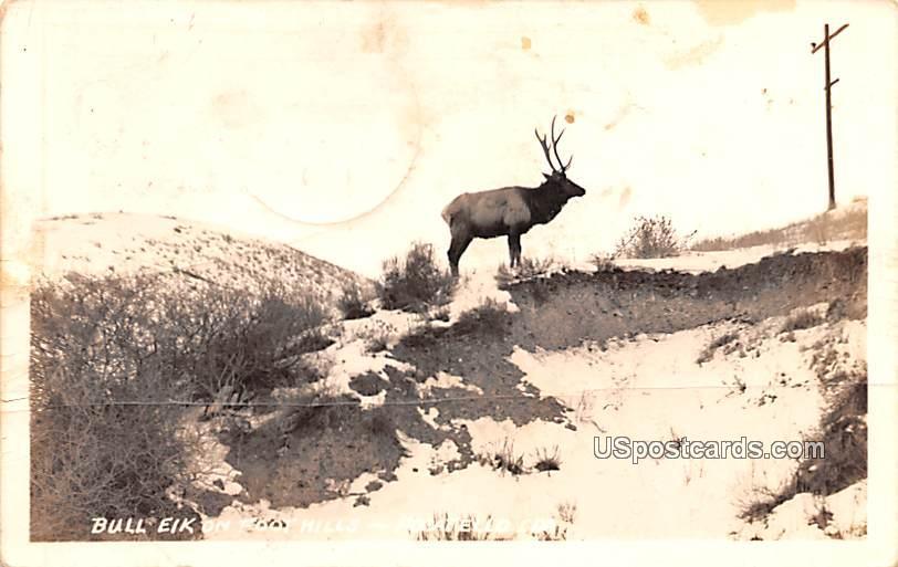 Bull Elk on Foothills - Pocatello, Idaho ID Postcard