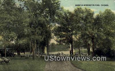 Sheep in Washington Park - Chicago, Illinois IL Postcard