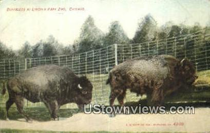 Buffaloes, Lincoln Park Zoo - Chicago, Illinois IL Postcard