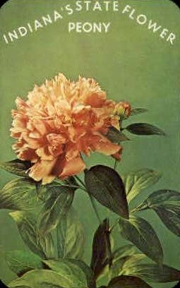 Peony, Indianas State Flower - Misc Postcard