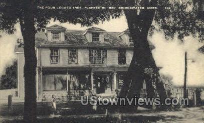 The Four Legged Tree - Bridgewater, Massachusetts MA Postcard