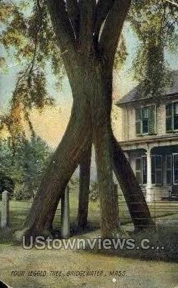 Four Legged Tree - Bridgewater, Massachusetts MA Postcard