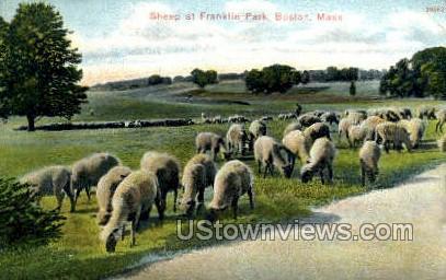 Sheep, Franklin Park - Boston, Massachusetts MA Postcard