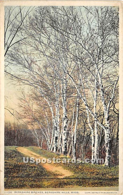 Berkshire Birches - Berkshire Hills, Massachusetts MA Postcard