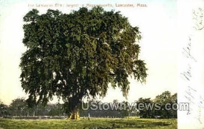 The Lancaster Elm - Massachusetts MA Postcard
