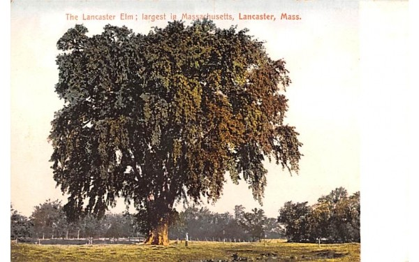 The Lancaster Elm Massachusetts Postcard