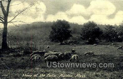 Sheep at the Falls - Malden, Massachusetts MA Postcard