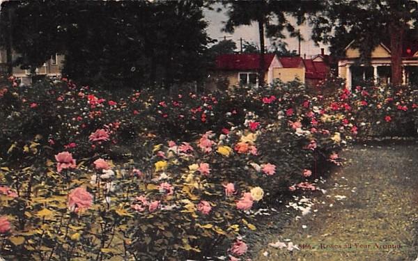 Roses all Year Round Misc, Massachusetts Postcard