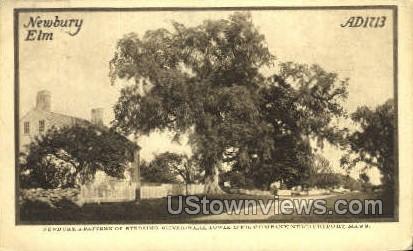 Newbury Elm - Massachusetts MA Postcard