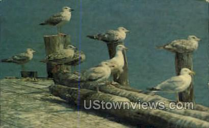 Sea Gulls - Cape Cod, Massachusetts MA Postcard