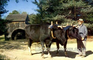 Holstein Oxen - Old Sturbridge Village, Massachusetts MA Postcard