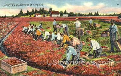 Harvesting Cranberries - Cape Cod, Massachusetts MA Postcard
