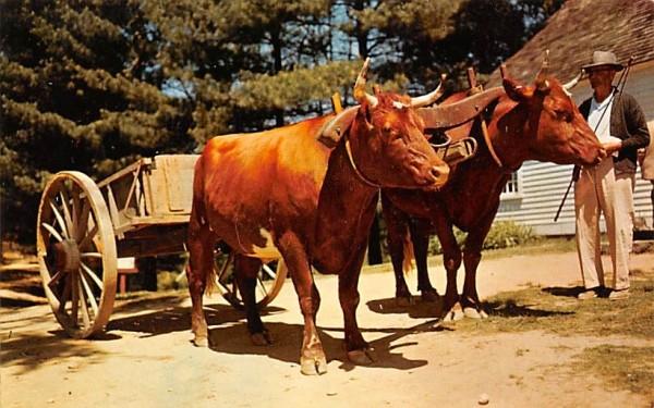 Devon steers Sturbridge, Massachusetts Postcard