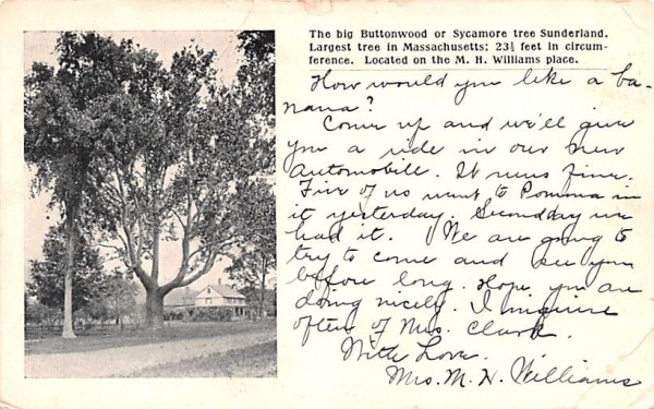 The big Buttonwood Sunderland, Massachusetts Postcard