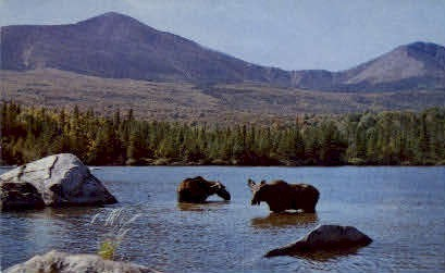 Bull Moose & Cow - Baxter State Park, Maine ME Postcard