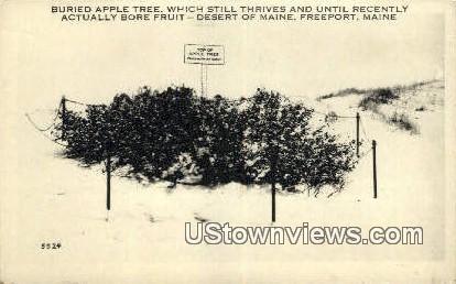 Buried Apple Tree - Freeport, Maine ME Postcard