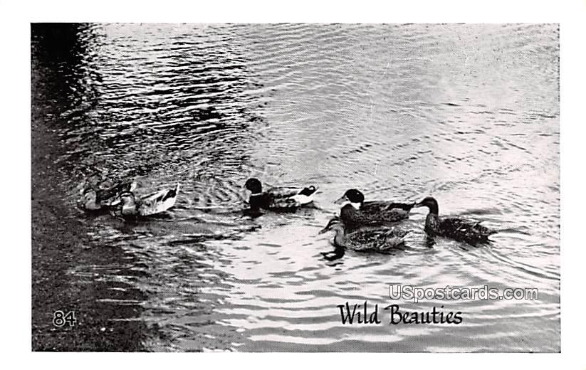 Wild Beauties, Ducks - MIsc, Michigan MI Postcard