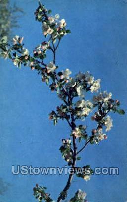 Apple Blossom - MIsc, Michigan MI Postcard
