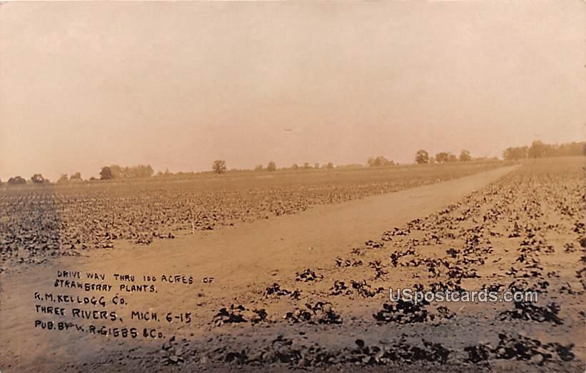 Drive Way thru 100 Acres of Strawberry Plants - Three Rivers, Michigan MI Postcard