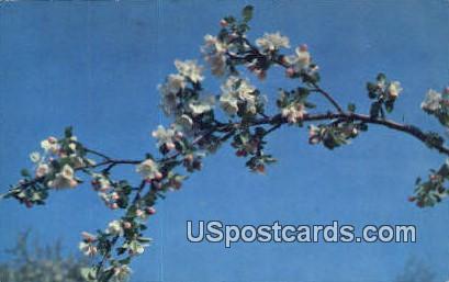 State Flower, Apple Blossom - MIsc, Michigan MI Postcard