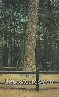Monarch Pine - Grayling, Michigan MI Postcard