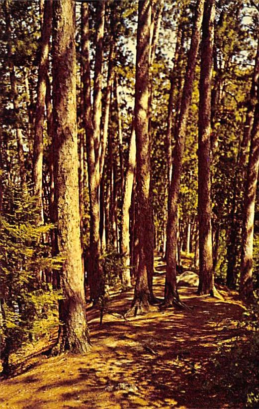 Minnesota State Tree MN