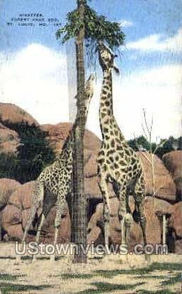 Giraffes, Forest Park Zoo - St. Louis, Missouri MO Postcard