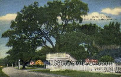 Sturdy Oak Tree East Beach - Biloxi, Mississippi MS Postcard