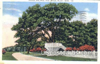Sturdy Oak Tree, East Beach - Biloxi, Mississippi MS Postcard