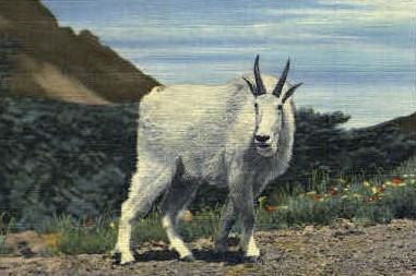 Rocky Mountain Goat - Misc, Montana MT Postcard