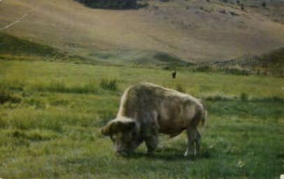 Albino Buffalo - Misc, Montana MT Postcard