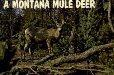Montana Mule Deer - Misc Postcard