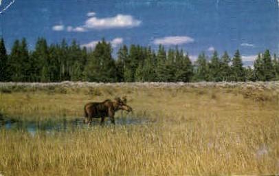 Bull Moose - Misc, Montana MT Postcard