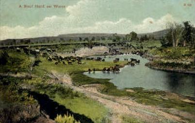 A Beef Herd on Water - Misc, Montana MT Postcard